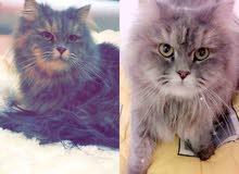 قطه شيرازي منتجه
