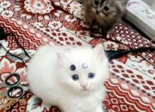 قطط شيرازي فارسي