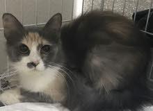 قطه شيرازيه حامل بالشهر الاول
