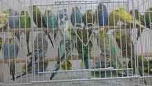 طيور الحب هولندية منتجة للبيع جمله