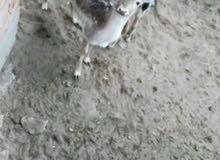 غزال الايل اوربي للبيع