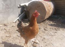 دجاجة عرب  بصحة جيدة