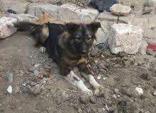 كلبة جيرمن على قوقازى