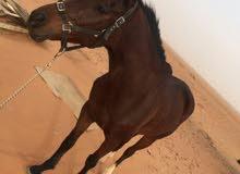 حصان انقليزي خصي بجواز