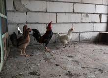1ديج و3دجاجات