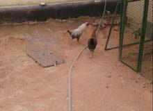 للبيع ديك ودجاجه ب 40 ريال (تم البيع)