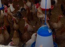 بيض مخصب للبيع
