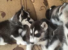 كلاب سيبري هاسكي للبيع