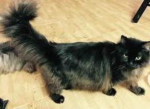 قطة سيبيرية