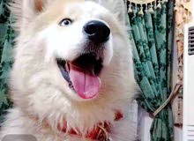 كلب هاسكي لونك هير