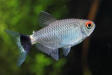 ريد أي تترا red eye tetra
