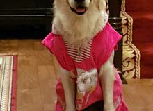 Male Golden Retriever For Mating Only