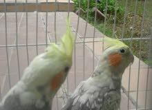 طيور كراوان للبيع هولندي