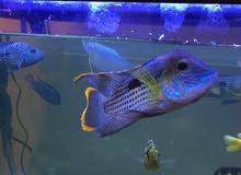 سمكه مفترسه للبيع نوع جرين تيرور green terror