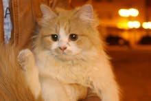 قطط شيرازي أصيل لعوب جدن لونه سكري صحته سليمه ب600 قابل التفاوض
