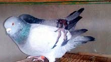 للبيع أو للبدل جوز الطيرة ألمانية فوتبول كنجات عراجنة الفحل طير حمام الزرقاء الهاشمية 0787252557