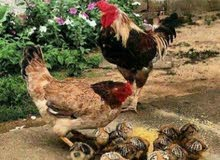 مطلوب افراخ دجاج عرب