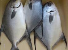 سمك زبيدي طازج +جمبري بأحجامه