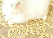 قطة شيرازي همالايا