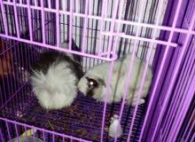ارنب غيني