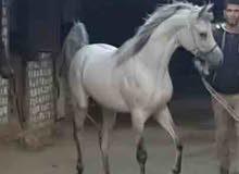 طلوقة حصان عربي اصيل للتلقيح فقط. مواصفات ممتازة