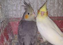 عصافير كوكتيل شغال