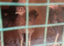 ديوجه 2 ودجاجه مخاليف عمر شهرين هنود