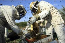 عسل طبيعي من مزارع الكوره