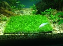 نبات ريشيا (riccia fluitans ) نبات طبيعي لأحواض السمك