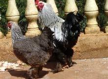 للبيع دجاج براهما خوارج أصل