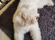 My Own beautifull Maltese Dog 3 Months   كلب مالتيز للبيع 3 شهور