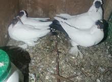 طيور جيكيات نضيغه