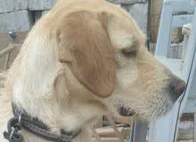 كلبه مدربه على صيد الطيور العمر سنه واربع شهور للبيع