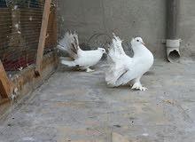 طيور عرايس شمسيات