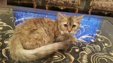 قطه شيرازيه تايقر انثى