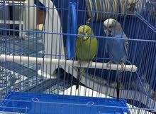 جوز من طيور الحب ازرق واخضر ذكر وانثى