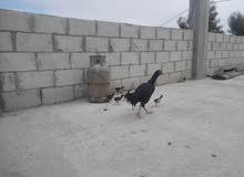 دجاجه باكستانيه اصليه مع 9 صوصان للبيع