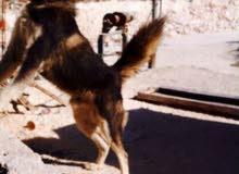 كلب للبيع أنثى ...
