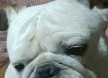 للجواز فقط أجمل كلب انجليش بول دوج