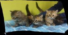 قطط عمر ثلاثة أشهر