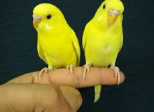 ازواج طيور الحب الأليفة مناسبة للاطفال و للزينة