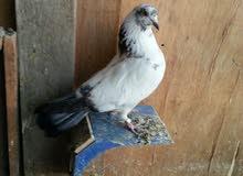 للبيع طيور تور