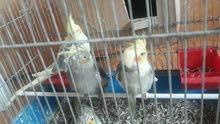 ثلاث طيور كوكتيل عمر خمس اشهر للبيع فقط ومش للبدل