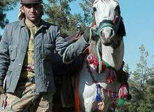 حصان لون ازرق فحل