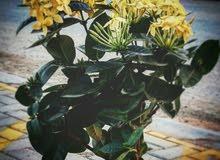 Ixora coccina plant