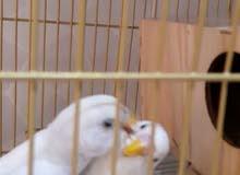 زوج طيور الحب بادجي أليفين ومتوالفين وجاهزين