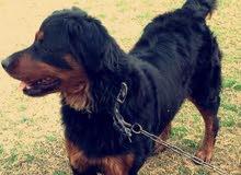 كلب روت وايلر نثيه للبيع