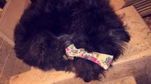 كلب فرنسي انثى