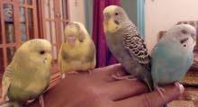 طيور حب أليفه بادجي و كروان