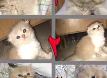 قطط سكوتش باقل الاسعار